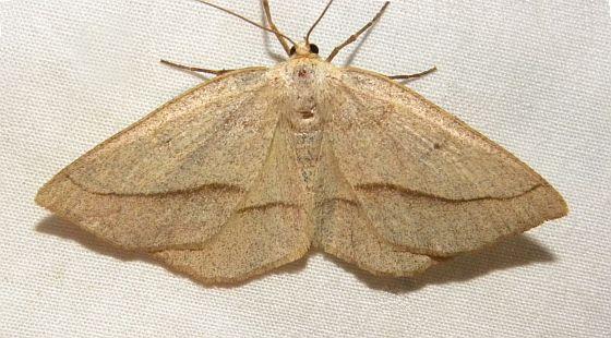 Pennsylvania Moth - Euchlaena irraria - female