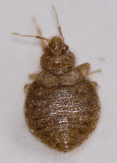 Hemiptera Bed Bugs