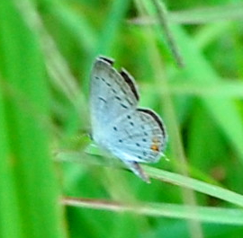 Blue spotted butterfly or moth - Cupido comyntas