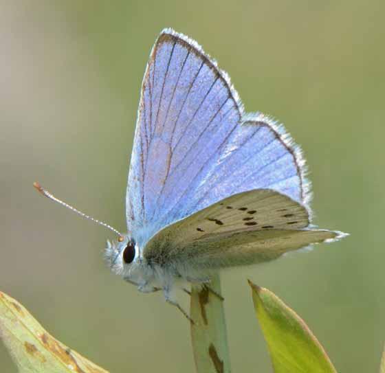 rocky mountain azure? - Lycaena heteronea