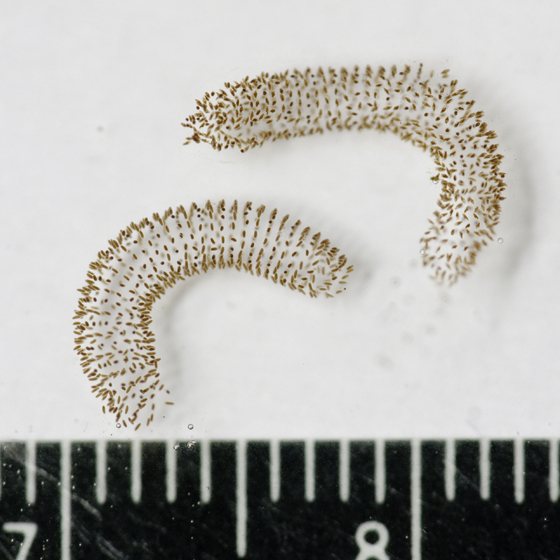 Chironominae Egg cases and reared juveniles