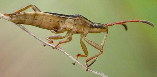 broad-headed bug - Darmistus crassicornis
