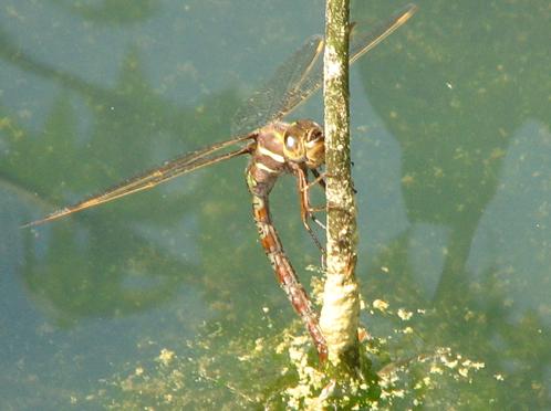 Female Springtime Darner - Basiaeschna janata - female