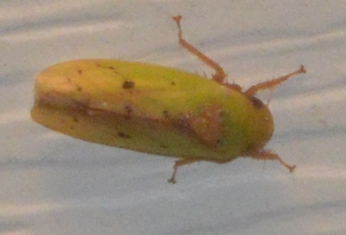 Leaf hopper 043016 - Ponana citrina