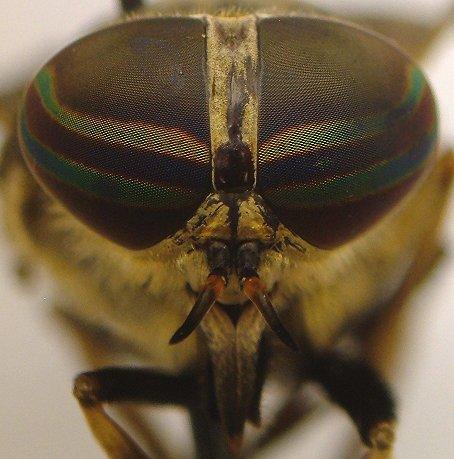 Horse Fly - Tabanus sulcifrons - female