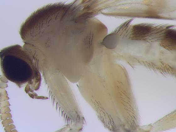 Keroplatidae, Predatory Fungus Gnat, thorax - Proceroplatus elegans - male