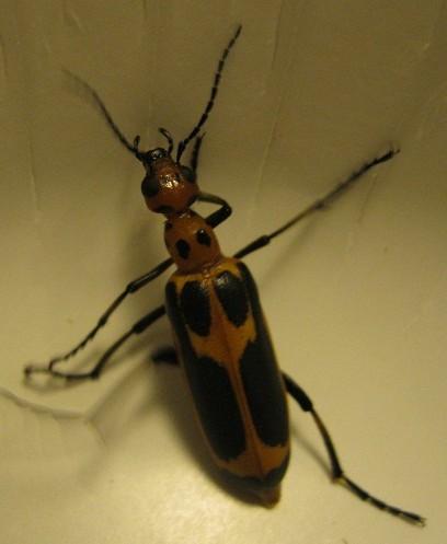 Blister Beetle - Genus Pyrota? - Pyrota sinuata