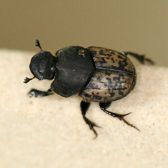 Small Black and Brown Dung Beetle - Onthophagus nuchicornis - female