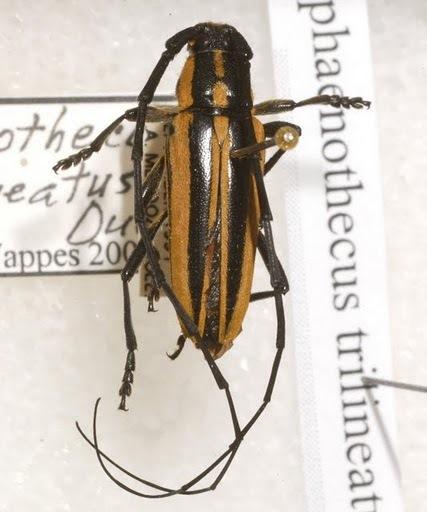 Sphaenothecus trilineatus Dupont - Sphaenothecus trilineatus