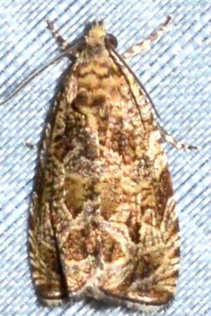 Olethreutini moth #3 - Olethreutes permundana