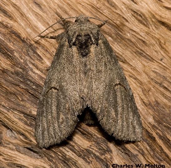 Moth - Heterocampa