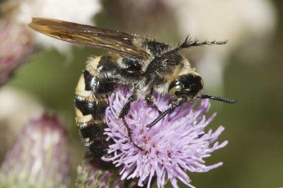 Big Wasp - Dielis plumipes - female