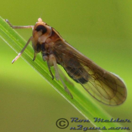 Planthopper 95 - Sogatella kolophon