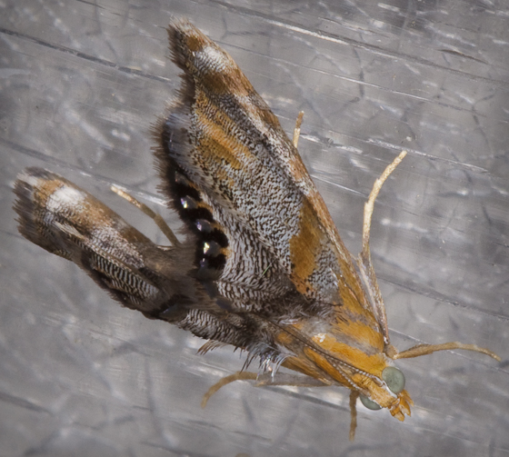 Another Moth - Dicymolomia opuntialis