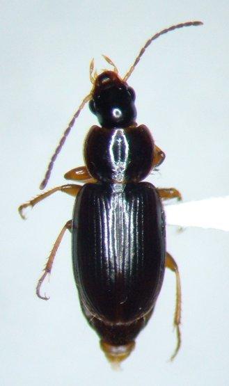 Stenolophus rotundicollis - Agonoleptus rotundicollis - male