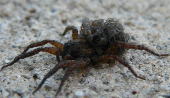 Wolf Spiders covered with young - female