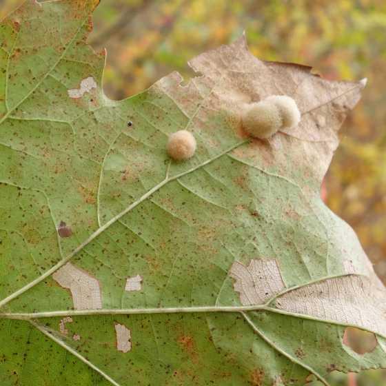 Fuzzy oak galls - Callirhytis lanata