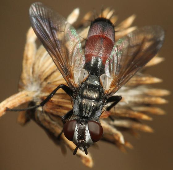 fly - Cylindromyia nana - female