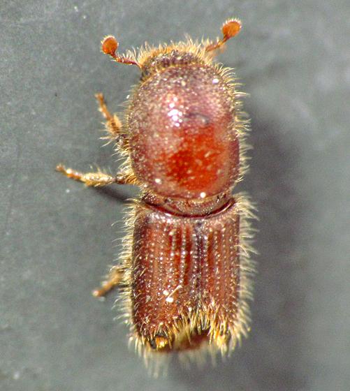 Toothed-Butt Beetle - Ips grandicollis