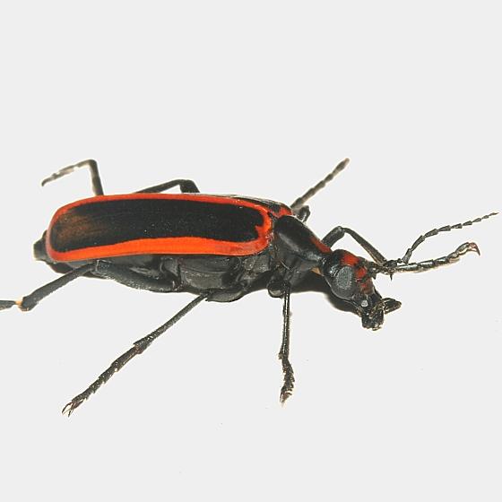 Beetle - Pyrota akhurstiana