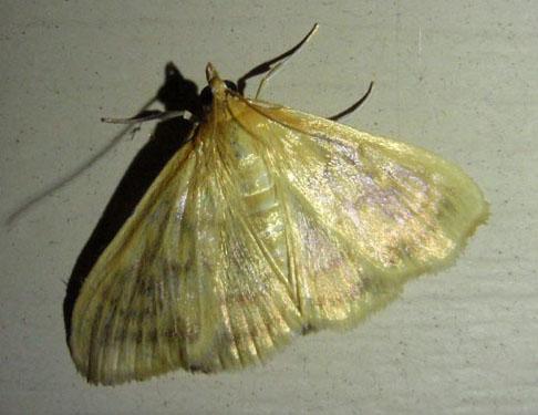 Yellow Moth - Hahncappsia