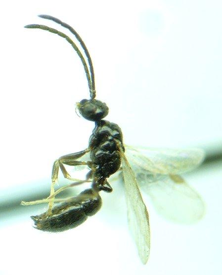 Another ant - Ponera pennsylvanica