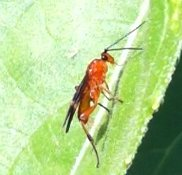 orange flier - Cremnops desertor