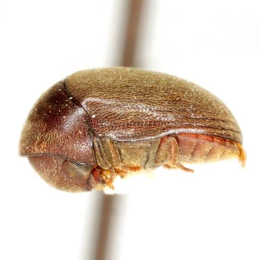 Tricorynus texanus White - Tricorynus texanus
