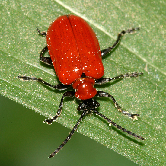 orange beetle - Lilioceris lilii