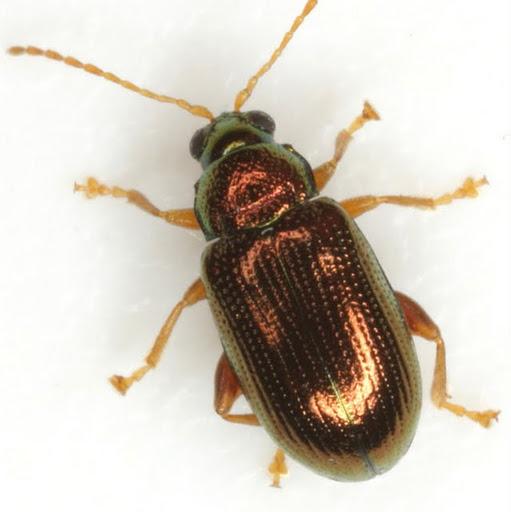 Crepidodera nana (Say) - Crepidodera nana