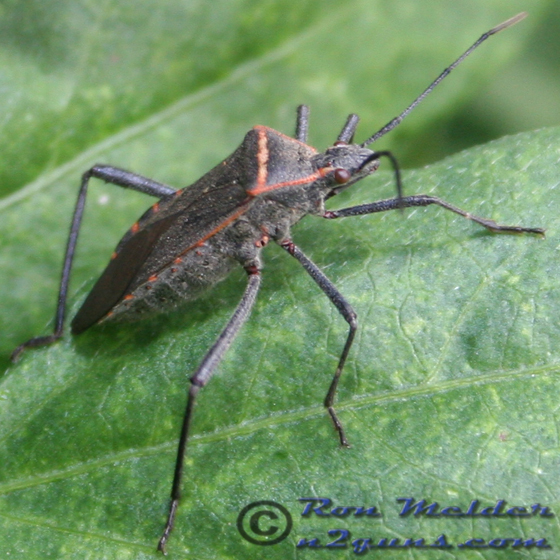 Leaffooted Bug - Phthia picta