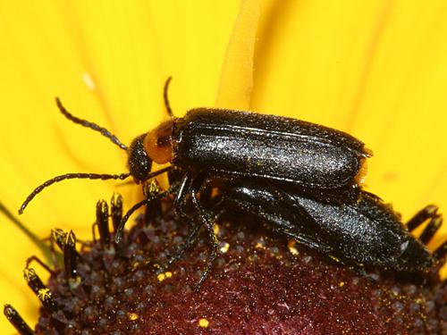 Blister Beetle - Nemognatha nemorensis
