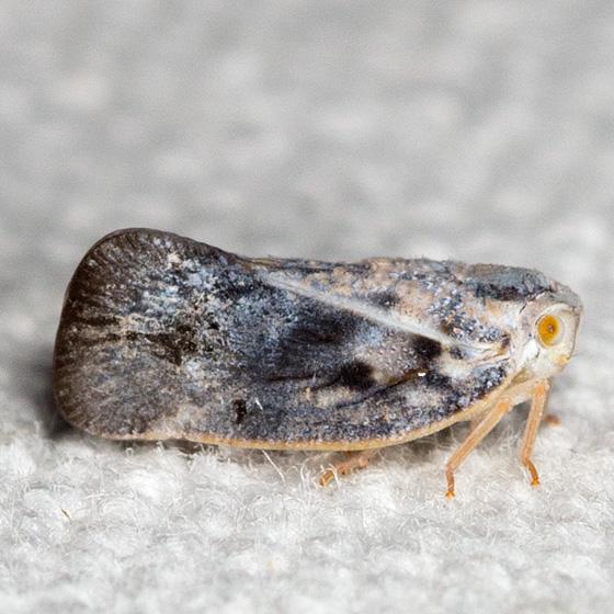 Leafhopper - Metcalfa pruinosa