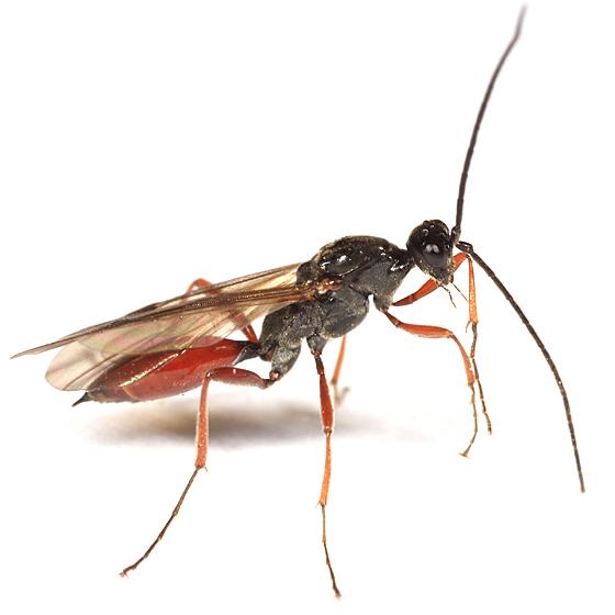 wasp - Proctotrupes terminalis