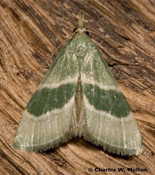 Possibly Anemosella viridalis. - Anemosella viridalis