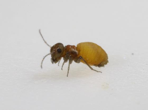 Peripsocus sp.  - Peripsocus unnamed-one - female