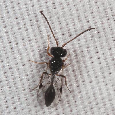 wasp - Helorus