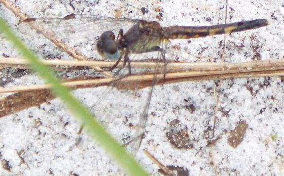 dragonlet - Erythrodiplax minuscula - female