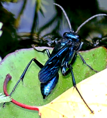 Blue Mud Dauber - Chalybion californicum - female