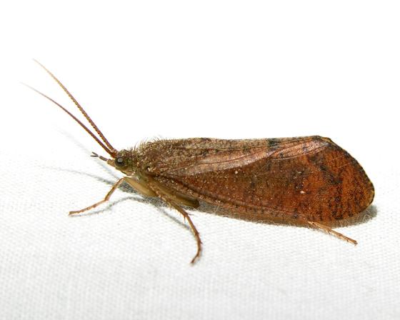 Unknown Moth 5 - Ptilostomis