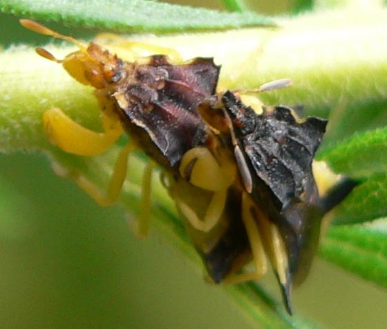 Pennsylvania Ambush Bugs - Phymata pennsylvanica - male - female