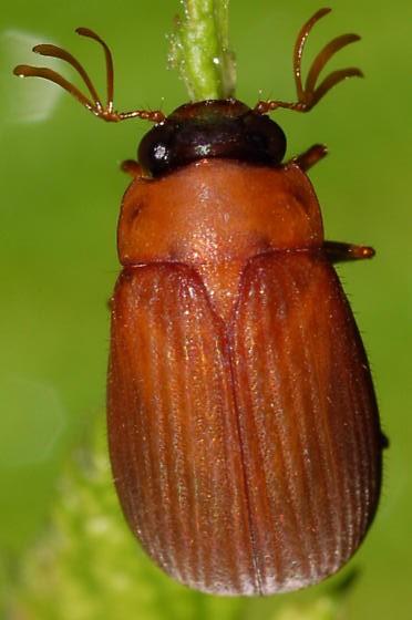 Scarab on raspberry - Nipponoserica peregrina - male