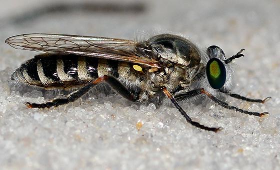 Robber Fly - Laphystia litoralis