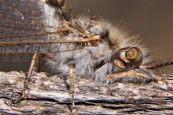 Owl Fly - Ululodes macleayanus
