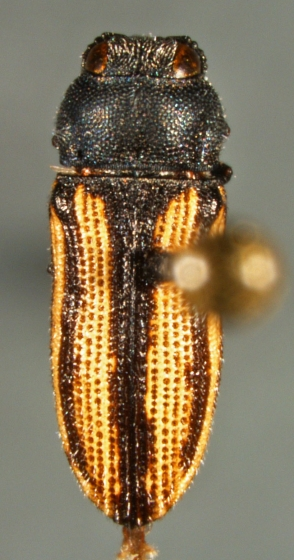 Acmaeodera - Acmaeodera quadrivittatoides - female