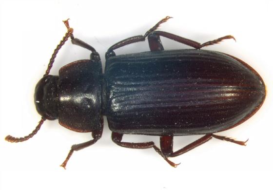 Tenebrionidae, dorsal - Neatus tenebrioides