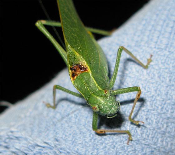 Big Katydid - Microcentrum californicum - male