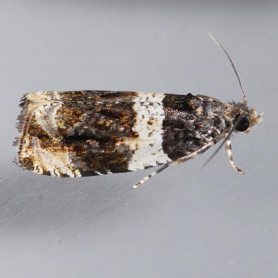 2823  - Olethreutes fasciatana