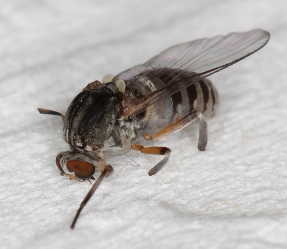 Black Fly / Buffalo Gnat - Simulium - BugGuide.Net