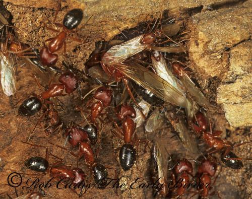 261613 - Camponotus floridanus - female